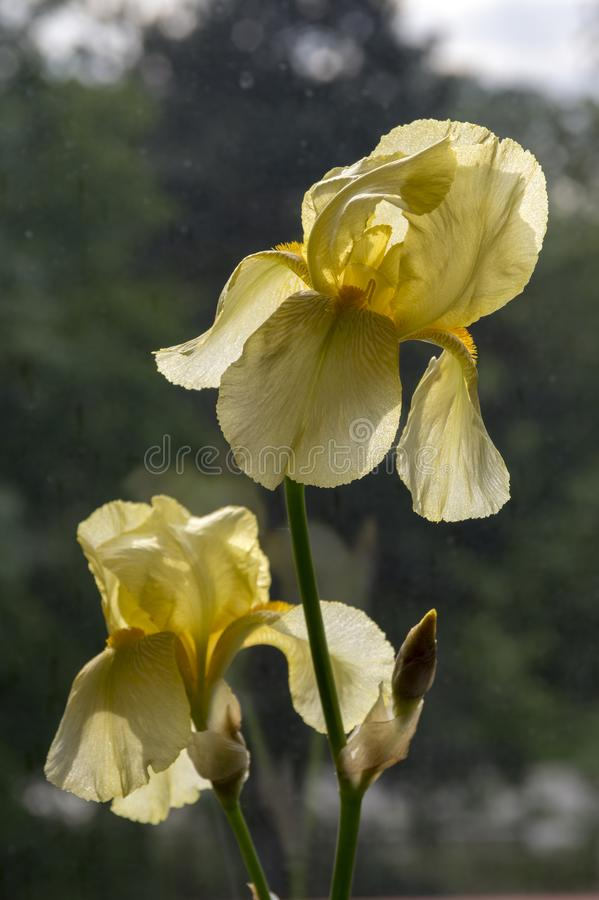 Bearded Iris flower, light yellow iris germanica in bloom. Ornamental garden, flower head stock image