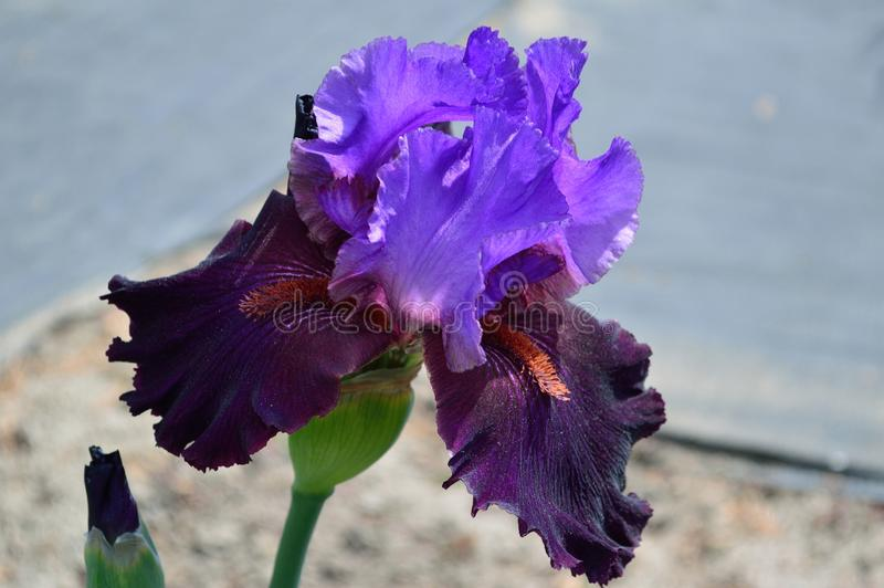 Bearded Iris variety Romantic Evening. Iris, a perennial plant grown from creeping rhizomes, is a genus of about 260–300, species of flowering plants stock image