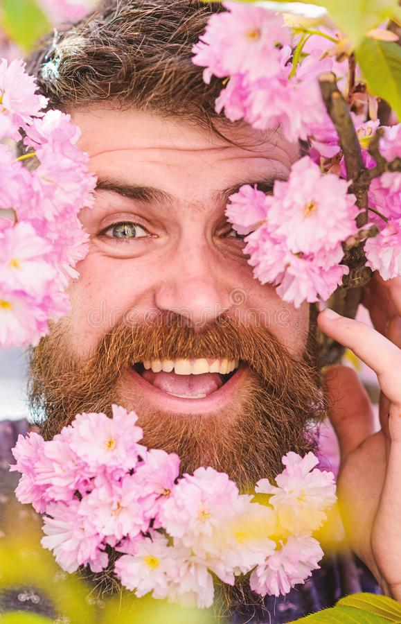 Bearded male face peeking out of bloom of sakura. Man with beard and mustache on happy face near tender pink flowers. Close up. Hipster with sakura blossom in stock photo