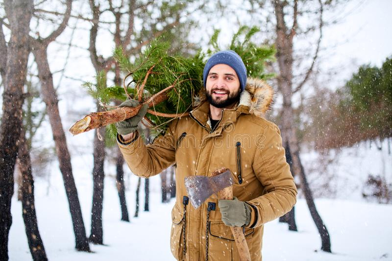 Bearded man carrying freshly cut down christmas tree in forest. Lumberjack holds axe and fir tree on his shoulder in the stock image
