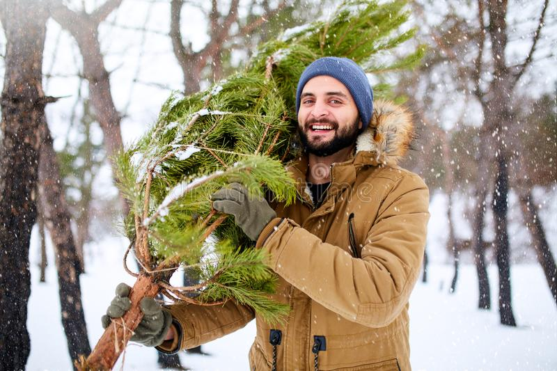 Bearded man carrying freshly cut down christmas tree in forest. Young lumberjack bears fir tree on his shoulder in the stock image