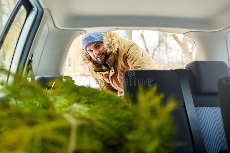 Bearded man unloading christmas tree out of trunk of his car, inside view. Hipster gets fir tree from the back of his royalty free stock photo