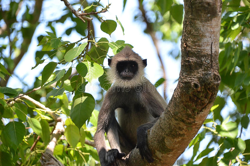 Beardy Monkey: Bearded Monkey Sitting On The Tree In Nature Stock Image