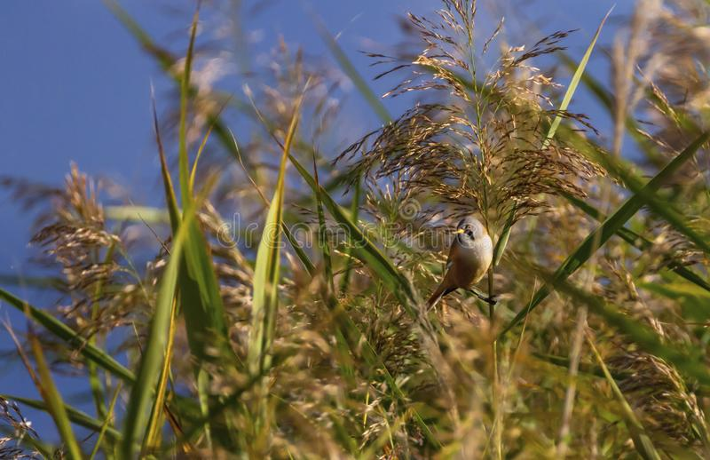Bearded reedling, panurus biarmicus, in the reeds. By day stock image
