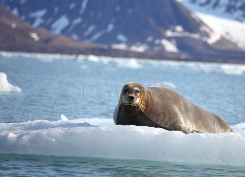 Bearded seal on fast ice. Arctic royalty free stock photos