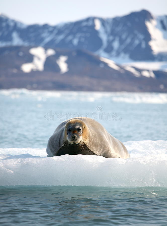Bearded seal on fast ice. Arctic royalty free stock photo