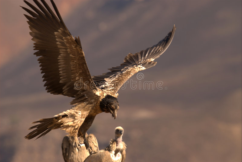 Bearded Vulture stock photo