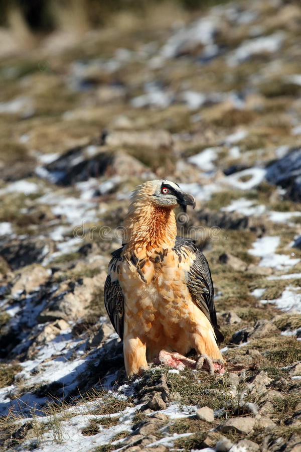 The bearded vulture. Also known as the lammergeier or ossifrage on a hillside with a dusting of snow in the Pyrenees stock photography