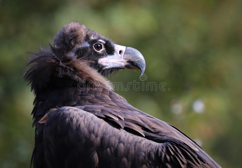 The bearded vulture Gypaetus barbatus, also known as the lammergeier or lammergeyer or ossifrage stock image