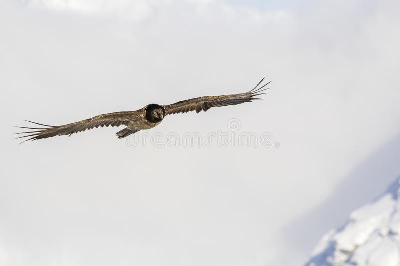 Bearded vulture, Gypaetus barbatus, immature, first year, Vanoise, France 2018 stock photography
