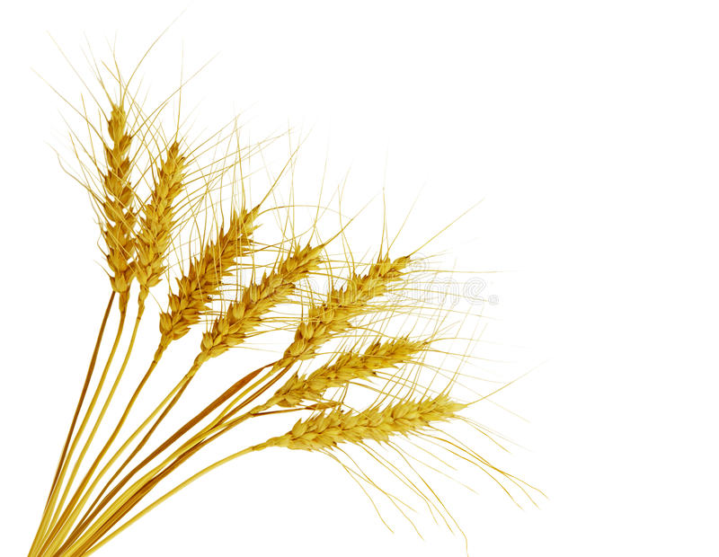 Bearded Wheat. Bundle of bearded wheat isolated on white background stock images