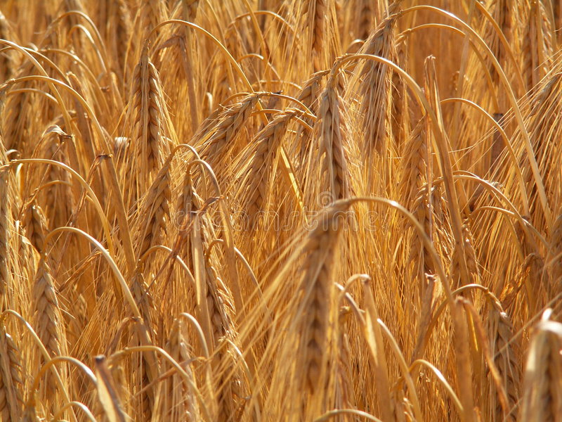 Bearded wheat 3 stock photos