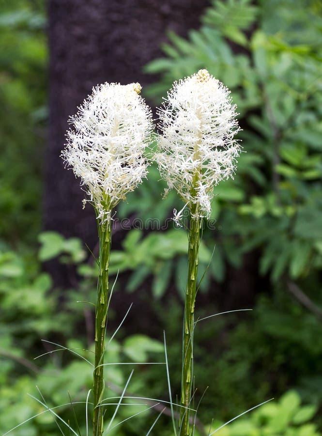 Beargrass стоковые фотографии rf