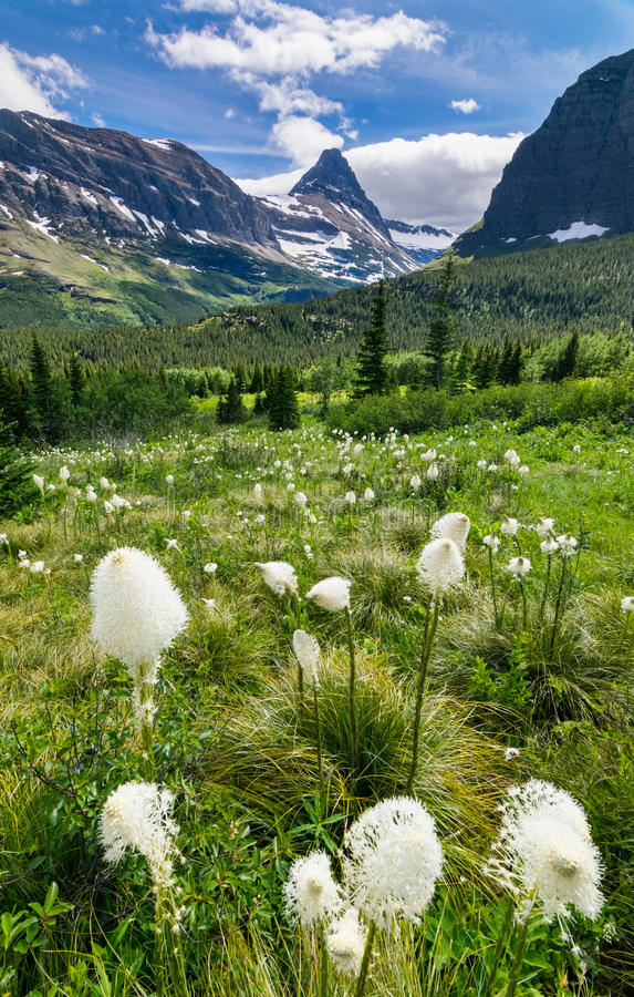 Beargrass on the mountains at Glacier national park stock photos