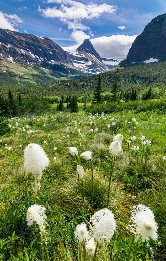 Beargrass op de bergen bij Gletsjer nationaal park stock foto's