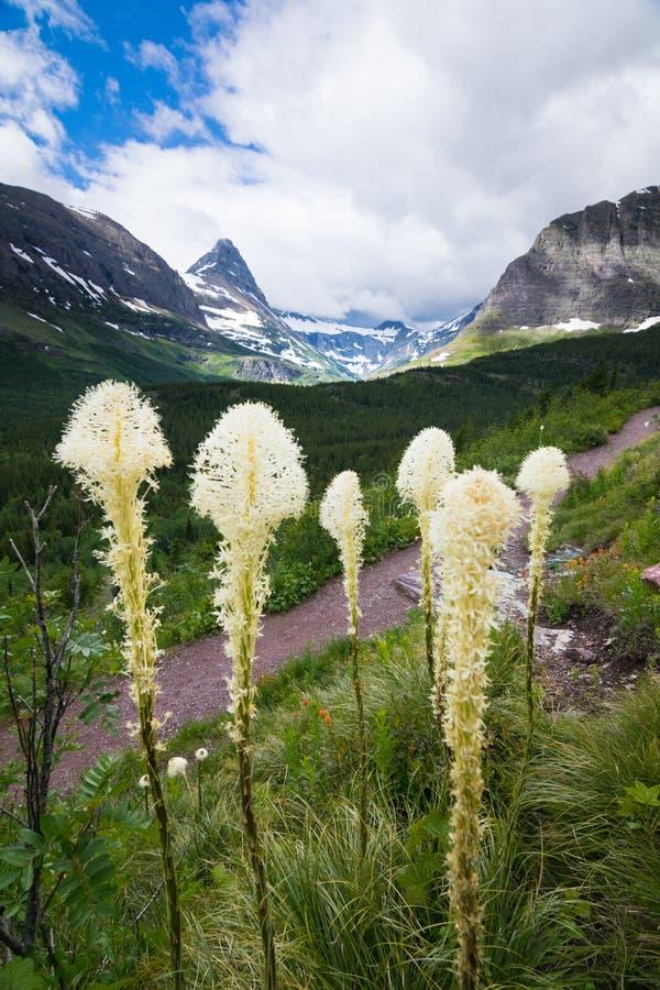 Beargrass op de bergen bij Gletsjer nationaal park royalty-vrije stock foto's