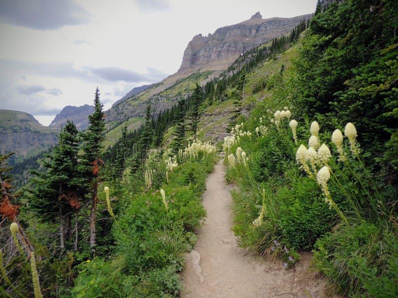 Beargrass Xerophyllumtenax vit blomma på den Highline slingan på Logan Pass på gå till solvägen i glaciärnationalpark U royaltyfria foton