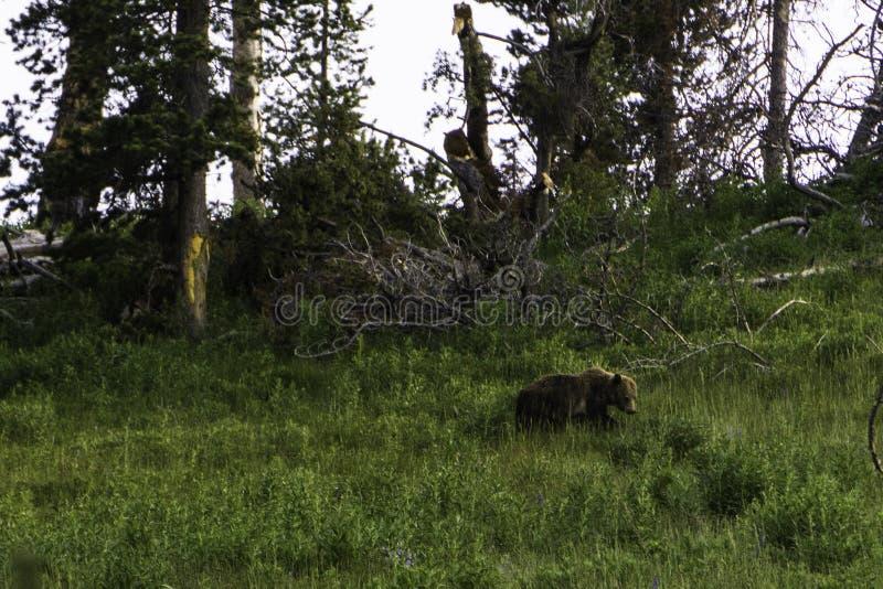 Bearly模型 库存照片