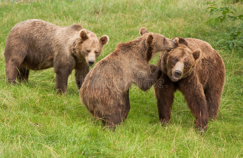 Bears royalty free stock photography