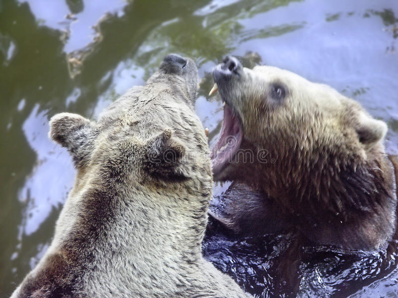 Download Bears stock photo. Image of bears, fear, encounter, animal - 12750164