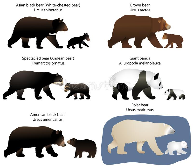 Bears and bear-cubs. Collection of different species of bears and bear-cubs vector illustration