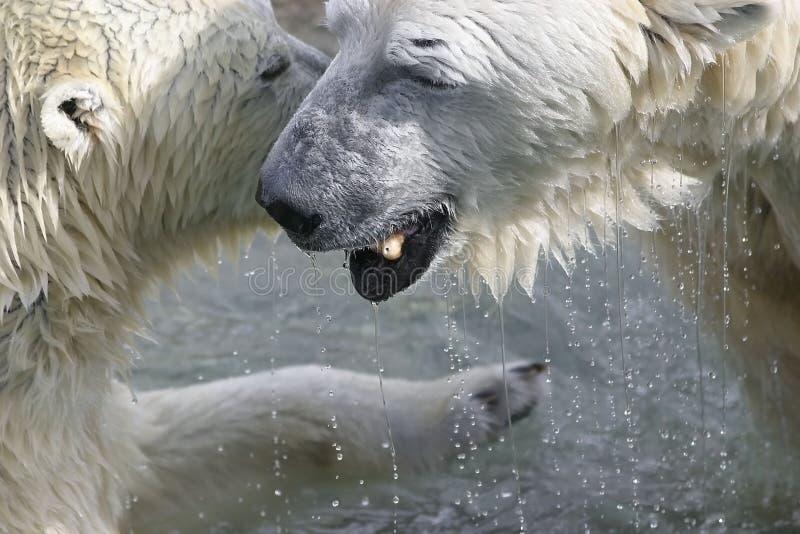 Bears Chatting Stock Photo