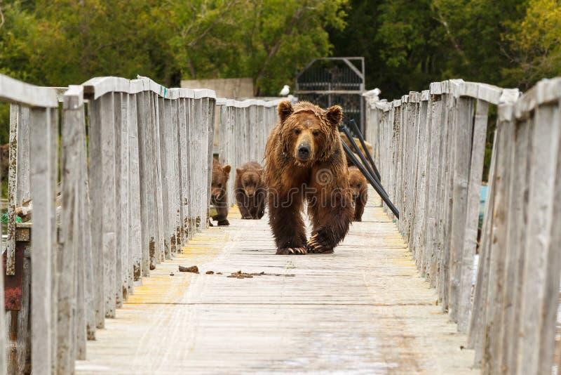Bears. Kamchatka. Bears on walk. Kurilskoe Lake. Kamchatka. Russia royalty free stock photography