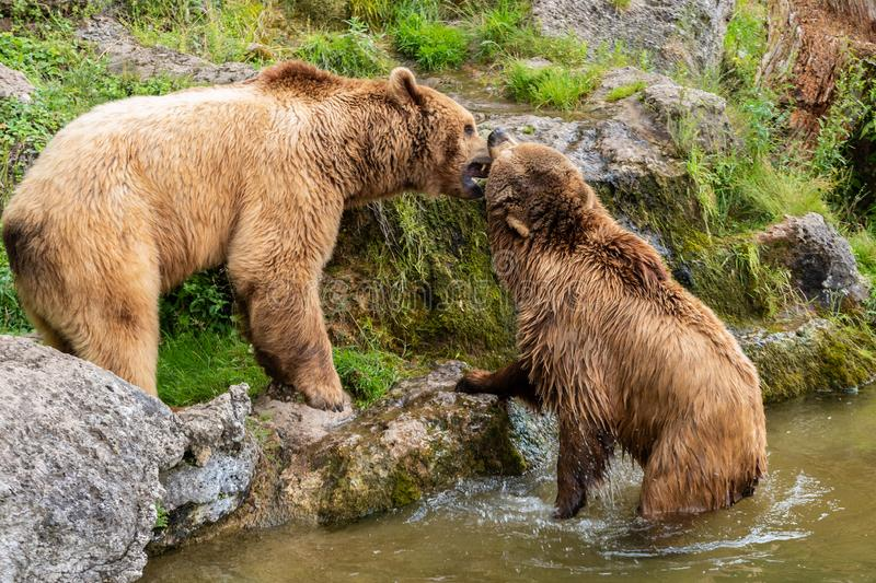 Bears love near the water stock images