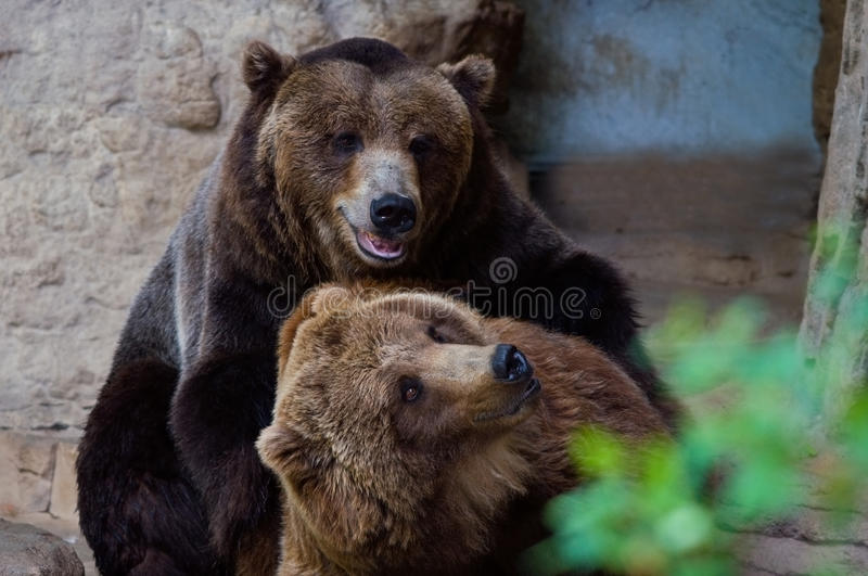 Bears playing. Two Grizzly Bears Tenderly Playing royalty free stock photos