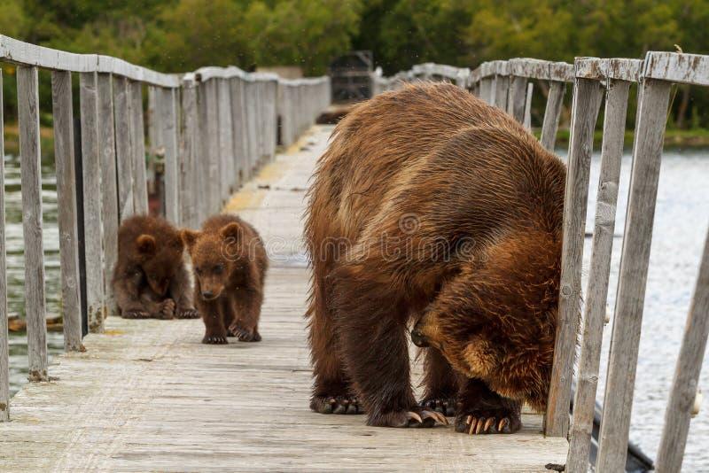 Bears playing. Kurilskoe Lake. Kamchatka. Russia royalty free stock photo