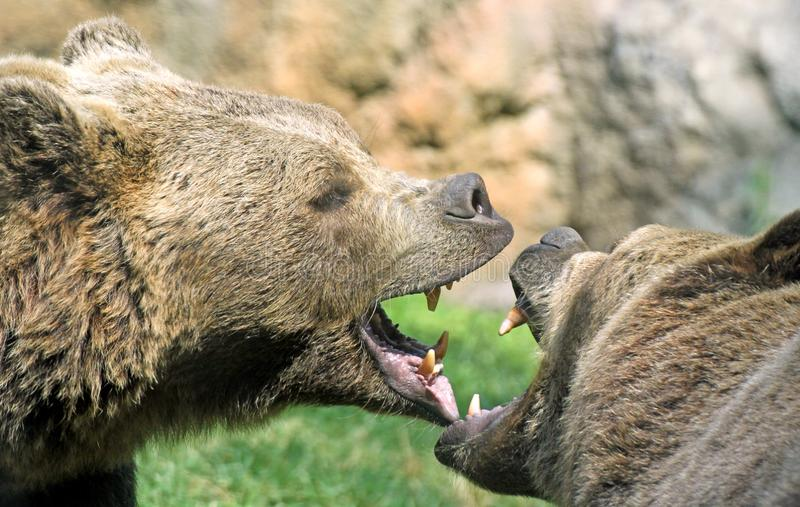 Bears struggle with mighty bites and blows the mouth open and th. Ferocious bears struggle with mighty bites and blows the mouth open and the teeth sharp royalty free stock photo