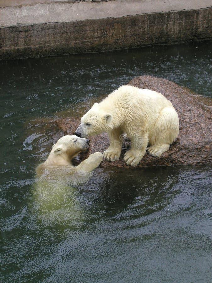 Bears under a rain royalty free stock photos