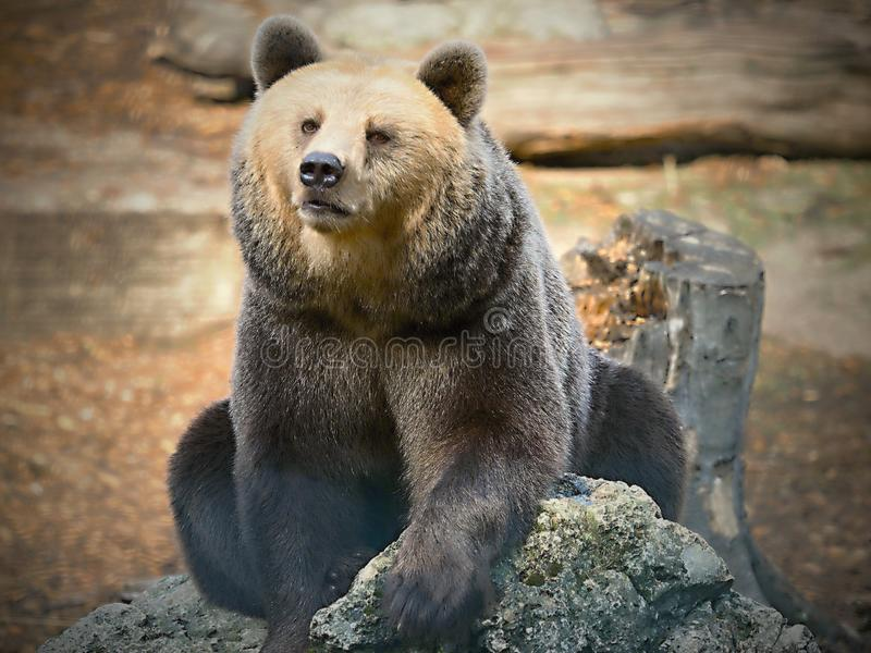 Bears in ZOO-Bears are carnivoran mammals of the family Ursidae. The adult bear grows to a length of 2 to 3 m, the tail measures 5 to 20 cm and reaches a weight royalty free stock photos