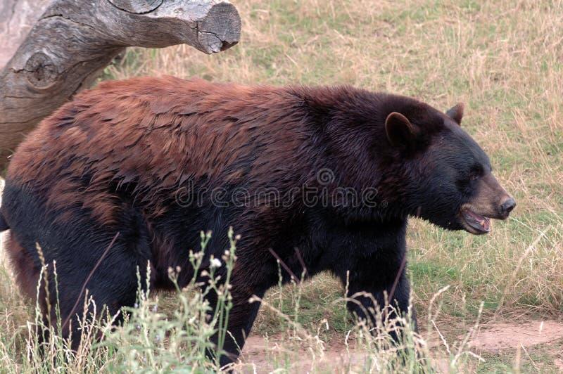 Beary felice di vederlo! 3 immagini stock libere da diritti