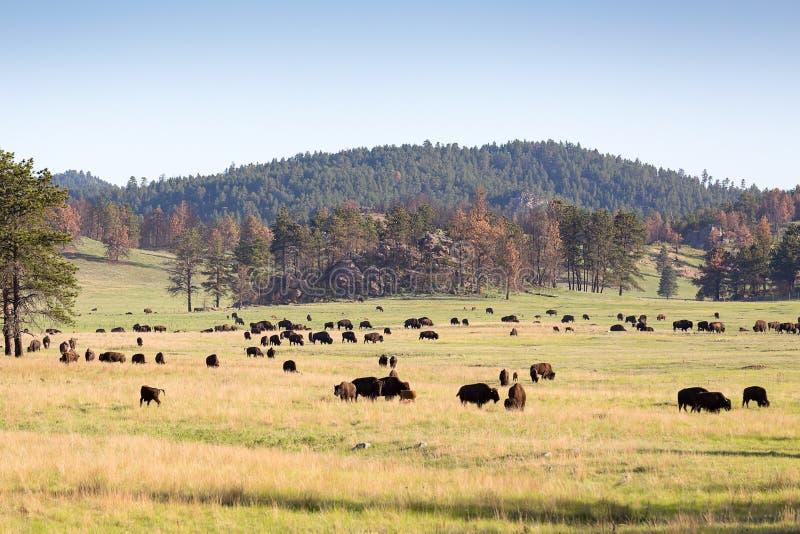 Beastly amerykańscy żubry w zielonych równinach Czarni wzgórza, Sout fotografia royalty free