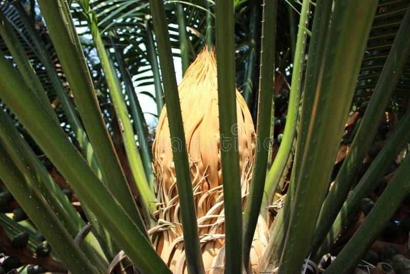 Download Beatelnut tree stock photo. Image of nature, closeup - 39512604