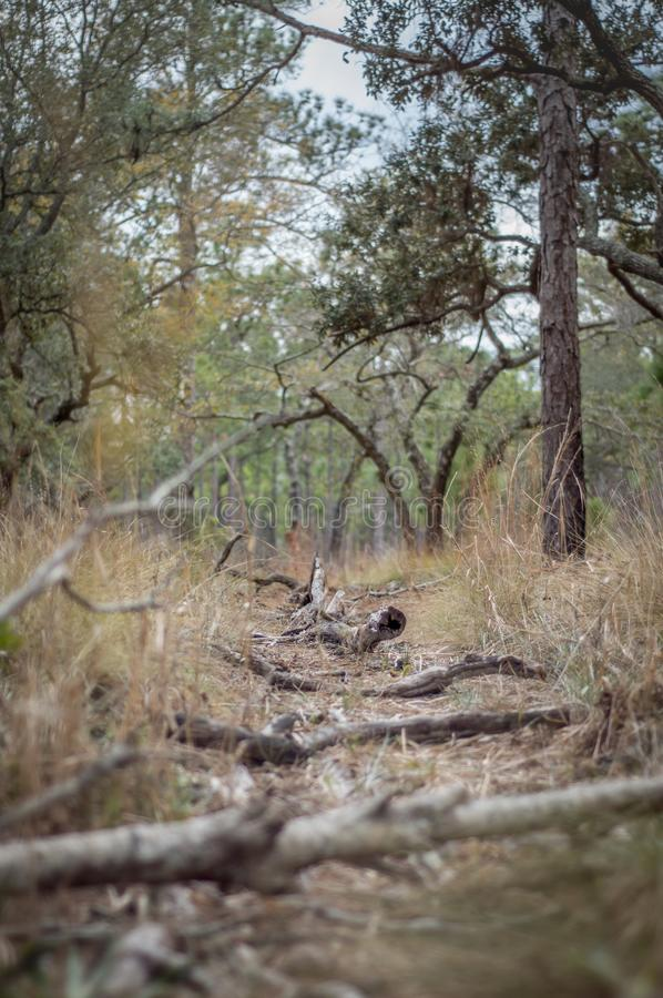 The Beaten Path. A trampled path in a pine forest royalty free stock image