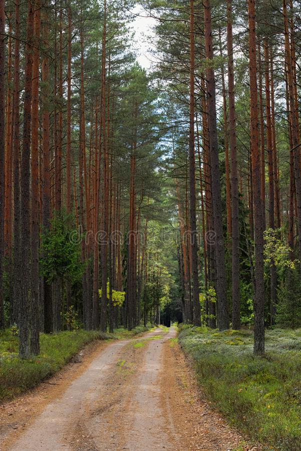 Beaten trail in a coniferous forest, road along the pinewood stock images