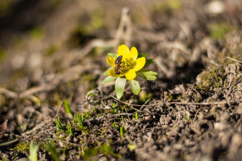 Beatiful flower with hard working bee stock photos