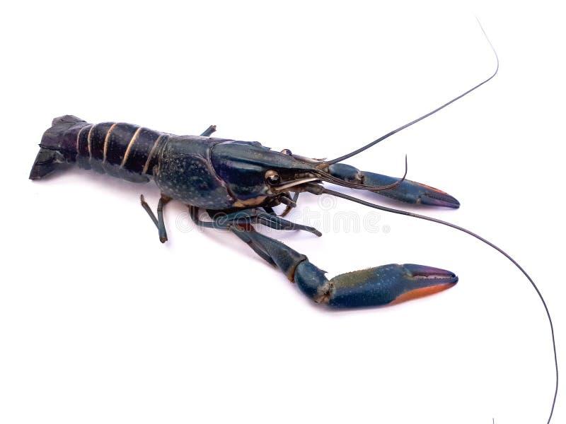 Beatiful shrimp royalty free stock images