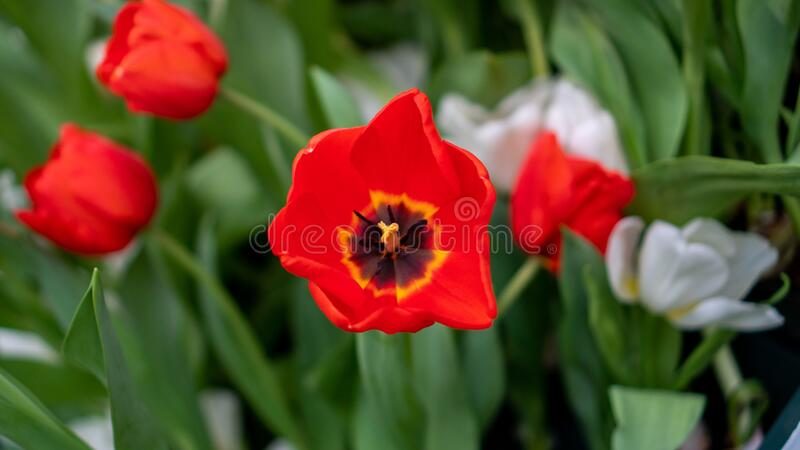 Beatiful Tulip Flower Tulipa agenensis with blurred background royalty free stock photography