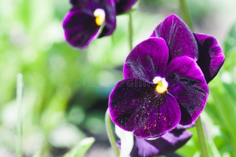 Beatiful viola in spring garden royalty free stock images
