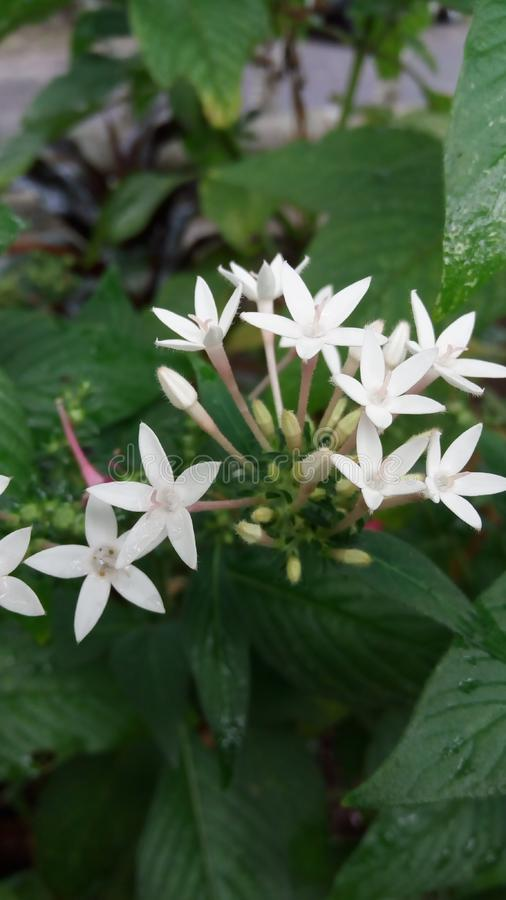 beatiful white flower in garden stock photos