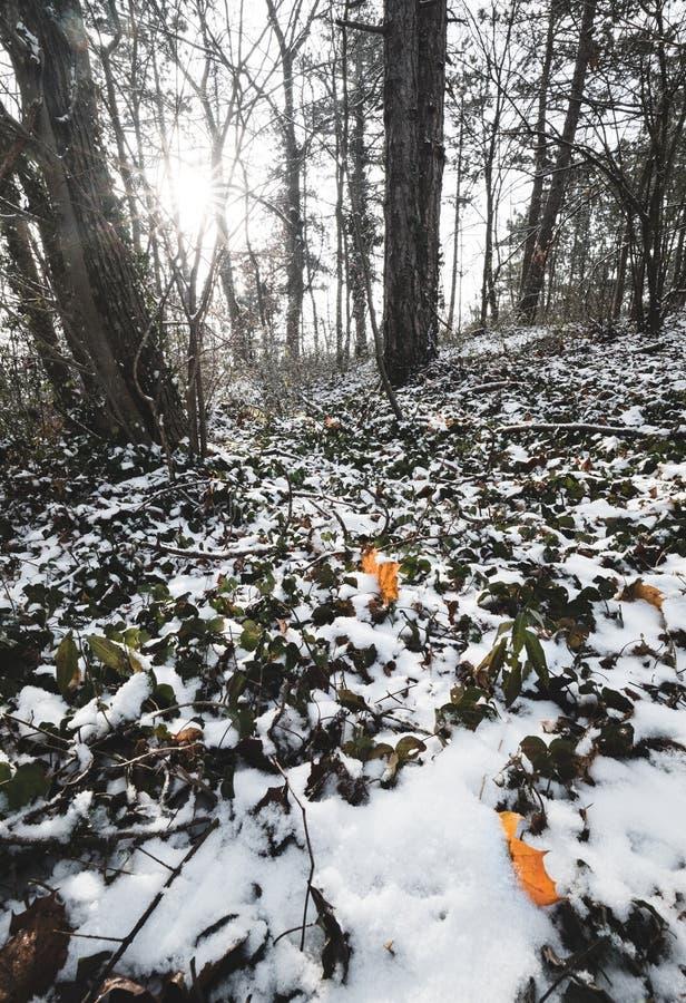 Beatifull早晨阳光在冬天森林,树用在背景的雪盖了 免版税图库摄影