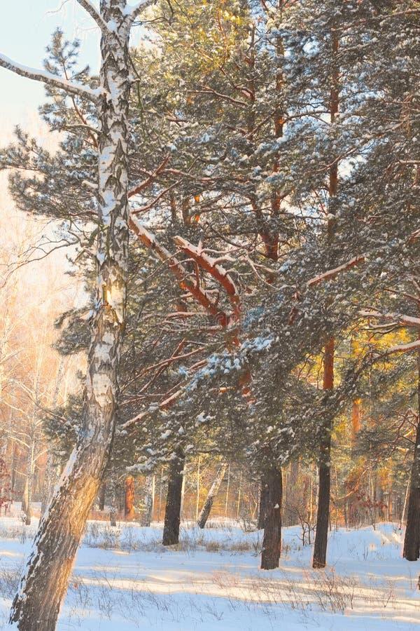 Beatifull早晨阳光在冬天森林,树用在背景的雪盖了 免版税库存照片