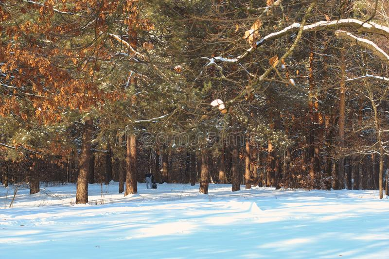 Beatifull morning sunrays in winter forest, trees covered with snow on background royalty free stock photo