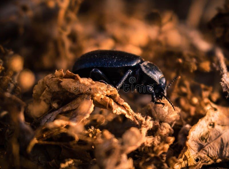 Beatle d'insecte au sol photographie stock