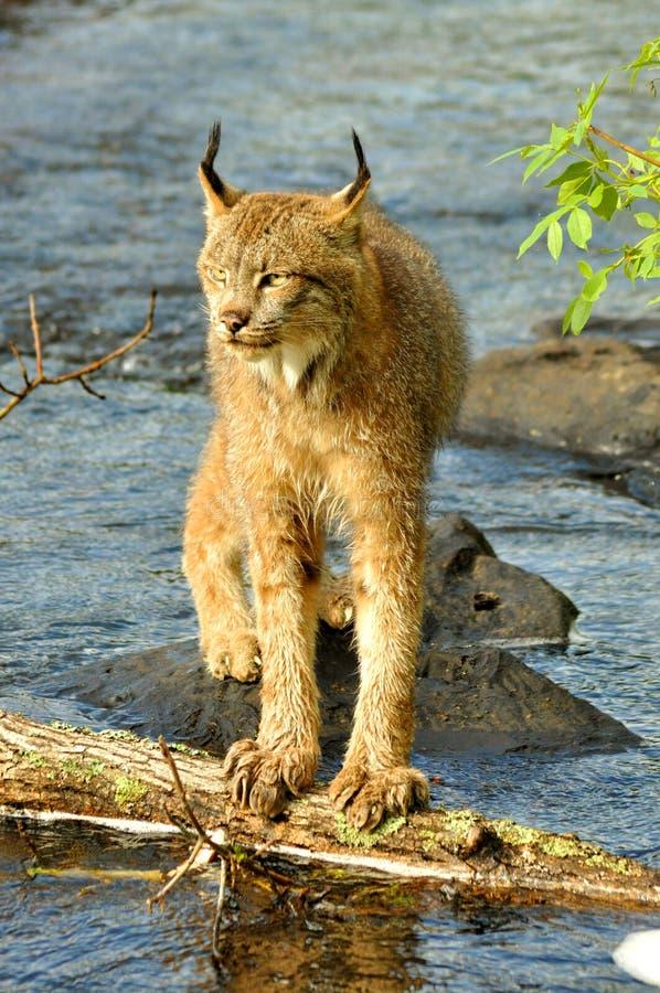 Beatufiul Lynx attraversa un fiume immagini stock libere da diritti