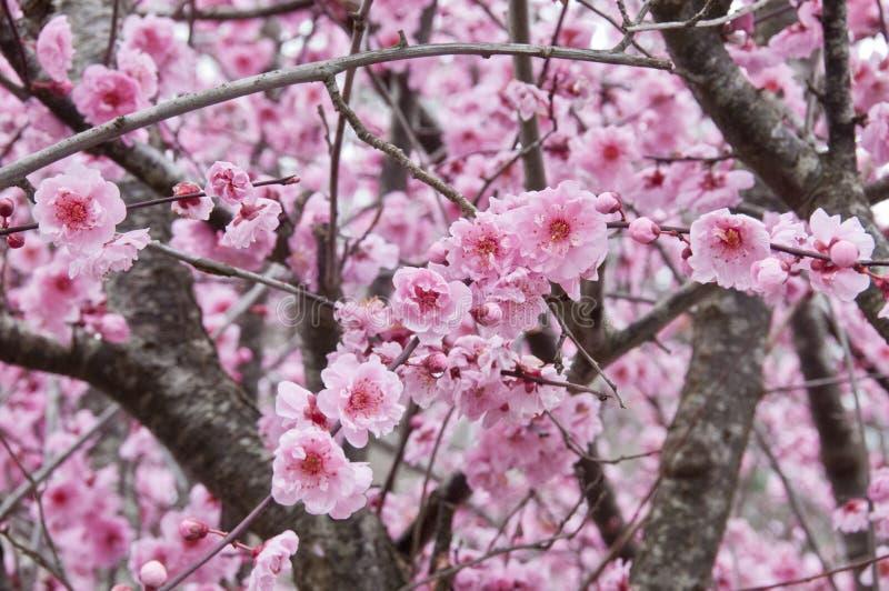 Beau arbre de Sakura de rose de fleurs de cerisier de pleine floraison photographie stock libre de droits