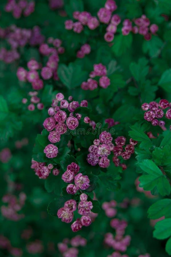 Beau arbre vert en fleurs avec de petites roses violettes images stock